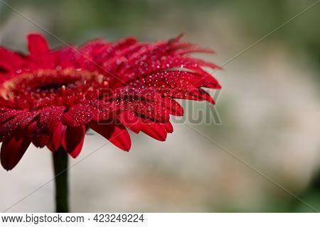 Gerbera Flower With Water Drops On Petals