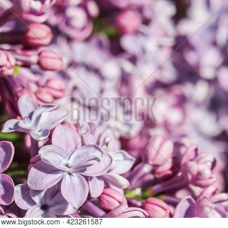 Abstract Floral Background, Blooming Branch, Purple Terry Lilac Flower Petals