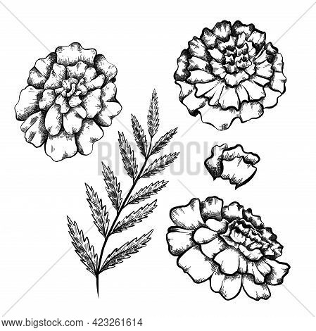 Set Of Monochrome Botanical Sketch Of Branch With Leaves And Various Marigold Flowers With Shading.