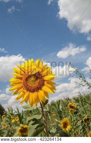 Sunflower On A Background Of Cloudy Sky