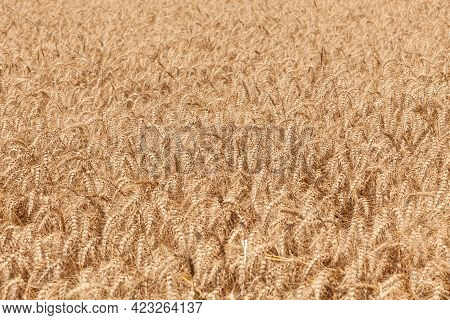 Close Up Of A Gold Wheat Field.