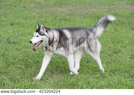 Cute Siberian Husky Puppy Is Walking On A Green Grass In The Summer Park. Pet Animals. Purebred Dog.
