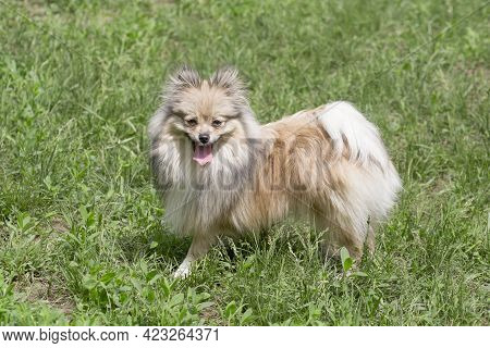 Cute German Spitz Puppy Is Standing On A Green Grass And Looking At The Camera. Pet Animals. Purebre