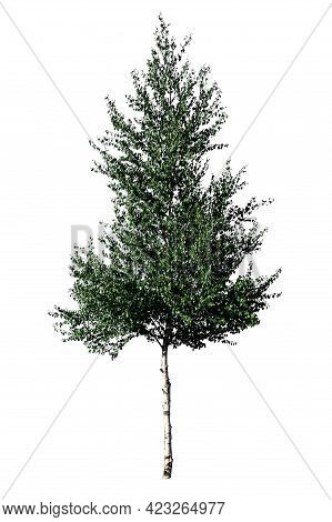 Green Tree European White Birch (betula Pendula) Isolated On A White Background.isolated Betula Pend