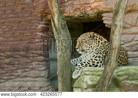 Leopard Resting In The Zoo, And Looking Around In Peace