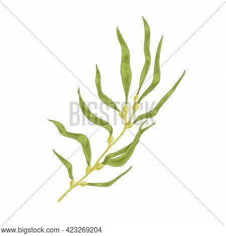 Sea Sargassum Alga Or Brown Macroalgae. Edible Seaweed With Leaves And Bladders. Natural Underwater