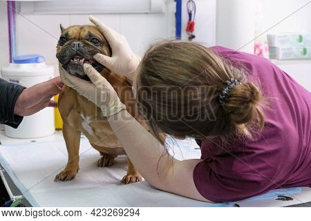 Small Dog At The Reception At The Veterinarian. Image Of Dog On The Operating Table And Doctor In A