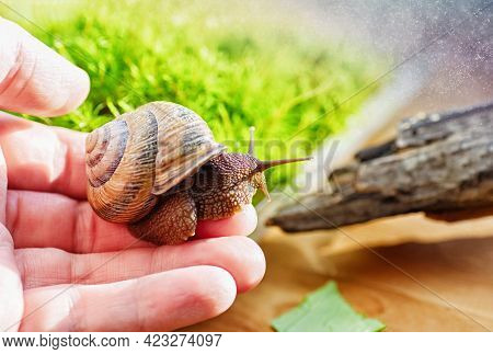 Domestic Snail In A Female Hand. Large Domestic Snail, Unusual Pets . Keeping Snails At Home. Close-