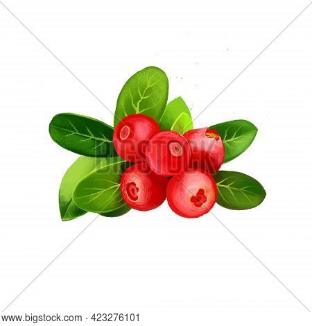 Cranberry Mooseberry, Bog-berry, Moss-berry Berries With Leaves Isolated On White. Evergreen Dwarf S