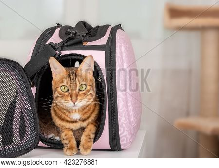 Bengal Cat In A Special Soft Pink Cage Or Pet Carrier