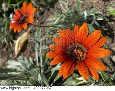 Gazania Cultivar \'cooper King\' (gazania Hybrid \'cooper King\') Or Gazania Hybride \'kupferglut\'