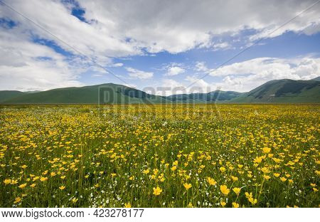 Wonderful View Of Carpet Of Yellow Flowers In The Pian Grande During Spring Season, Castelluccio Di