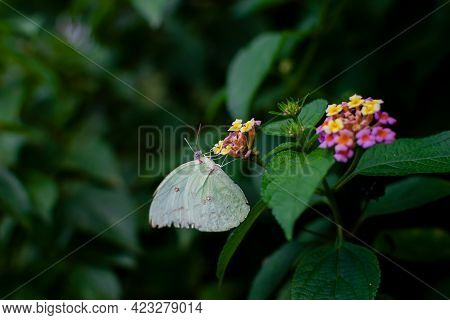 Common Emigrant Also Known As Lemon Emigrant Butterfly Sucking The Nectar From The Colorful Flowers
