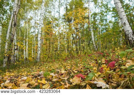 Fallen Red, Green & Yellow Leaves That Covered Forest Ground & Pathway. Park Birches Are On Blurred