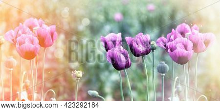 Poppy Flowers, Beautiful Purple Poppy Flowers Lit By Sunlight