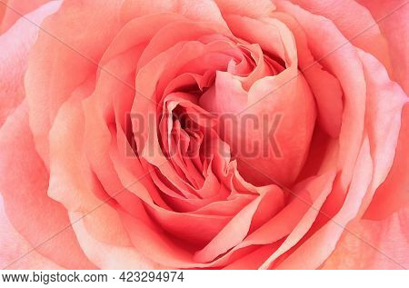 Beautiful Delicate Pink Rose Flower Close Up Natural Background