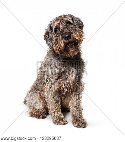 Brown mxed breed dog sitting, isolated