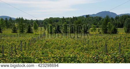 Young Vines In A Small Vineyard In Early Summer In Quebec, Canada