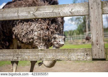 Ostrich Farm. Ostriches On An Ostrich Farm. The Ostrich Looks Over The Fence. Animals In Captivity.