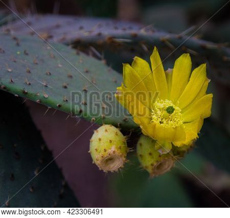 Cactus Flowers. The Fruit Of The Cactus. Cactus Is Blooming. Cactus Is Fruiting.