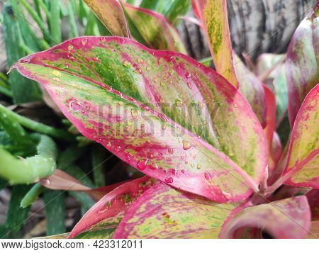 Close Up Picture Of Colorful Aglonema Leaf After The Rain