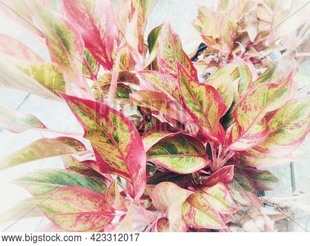 Colorful Aglonema Leaves In The Garden. Beauty In The Nature