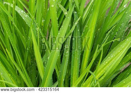 Raindrops On Blades Of Grass. Purity And Freshness Of Nature Concept