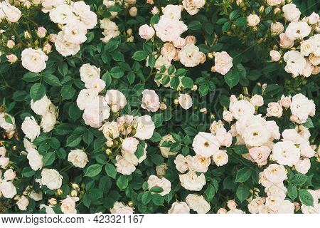 A Bush With Many Small Pink Roses Close-up In The Garden. Pink Rose Bushes Blooming On The Road.