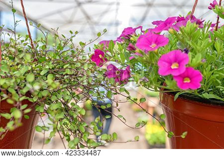 Pot Of Planters With Kalibrahoa And Muhlenbehia Flowers Hanging In The Garden Center