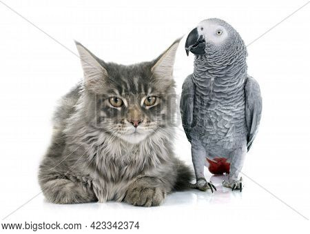 African Grey Parrot And Maine Coon Cat In Front Of White Background