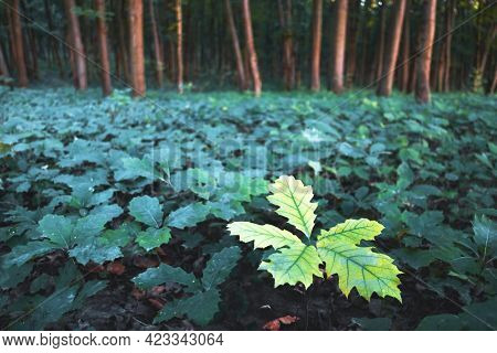 Young oak tree seedlings in oak forest. Nature woods and trees background