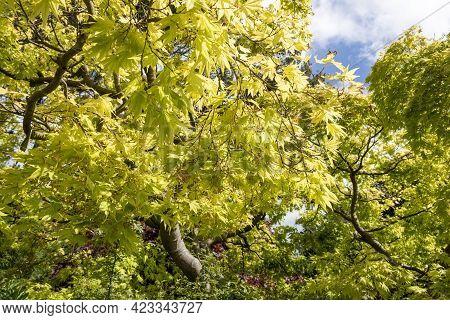Green Leaves Of Japanese Maple Tree (acer Palmatum)