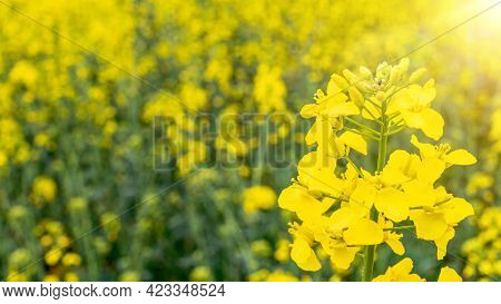Rapes Flower. Yellow Rape Flowers For Healthy Food Oil On Field. Rapeseed Plant, Colza Rapeseed For
