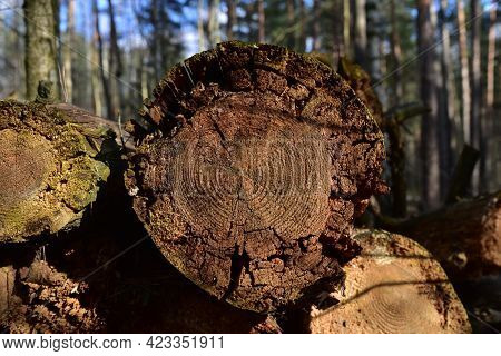 Wooden Structure. Cross Sectional Cut End Of Log Showing The Pattern And Texture Created By The Grow