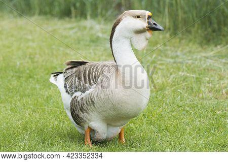 Animal Portrait Of Domestic African Grey Goose Bird.
