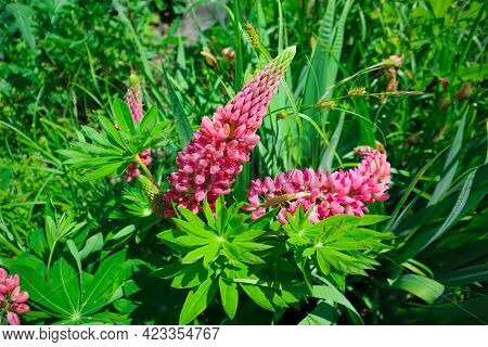 Blooming Lupine Flowers. Bright Pink Petals, Green Leaves, Grass Background. Selective Foreground Fo