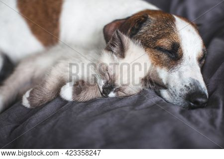 Little cat and dog sleeping together. Dog and small kitten on gray blanket at home