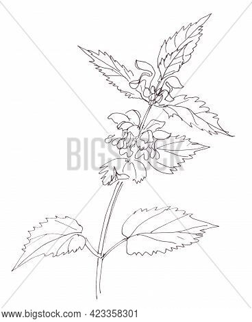 Lamium Album, Commonly Called White Nettle Or White Dead-nettle, Graphic Black And White Sketch On W