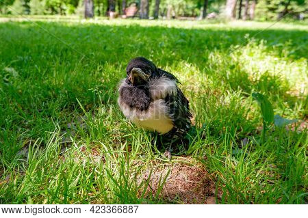 A Small Hooded Crow Chick Sits On The Ground. Grey Crow.