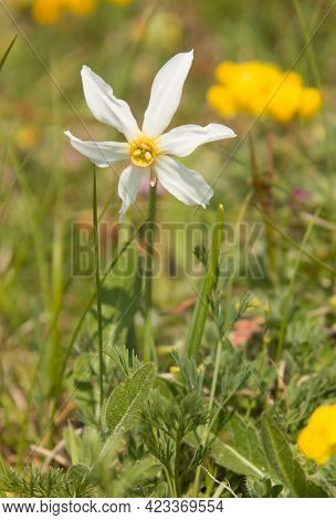 Wild Narcissus Flower In The Italian Mountain