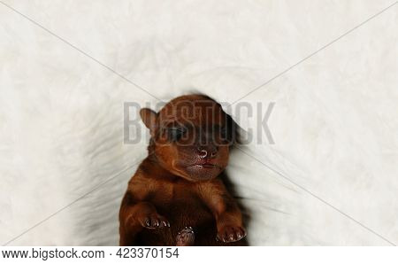 The Little Puppy Has Just Been Born. The Puppy Is In The Veterinary Clinic. A Newborn Puppy.