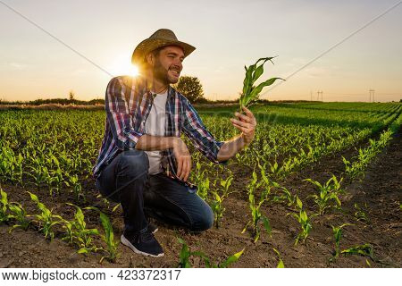 Farmer Is Standing In His Growing Corn Field. He Is Examining Crops After Successful Sowing.