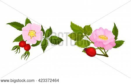 Tender Pink Flowers Of Rosa Canina Or Dog Rose Plant Specie With Mature Red Rose Hips Vector Set