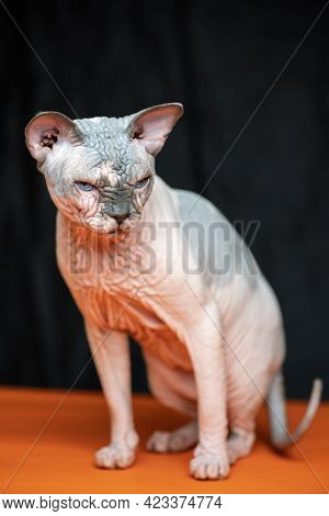 Full Length Portrait Of Canadian Sphynx - Breed Of Cat Known For Its Lack Of Fur. Hairless Male Cat