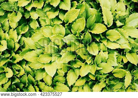 Leaf Texture. Green Leaves Background. Eco Wallpaper. Fresh Vibrant Leafs Background. Foliage Backgr