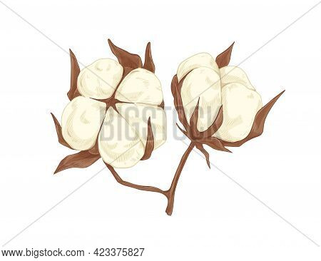Fluffy Soft Cotton Flower Bolls. Blossomed Coton Buds Drawn In Vintage Style. Botanical Drawing Of W
