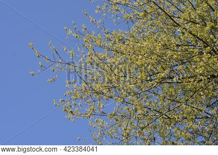 Boxelder Maple Branches With Flowers And New Leaves Against Blue Sky - Latin Name - Acer Negundo
