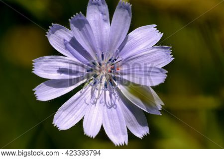Chicory Flower. Flower Of The Chicory Plant Blooming In The Meadows In Summer.