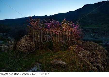 Russia. South Of Western Siberia, Mountain Altai. Blooming Ledebur Rhododendron Bushes Among Mossy S
