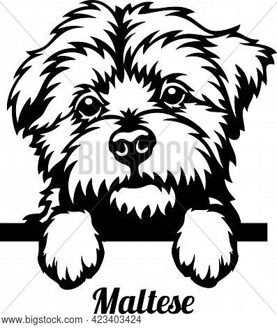 Maltese Peeking Dog - Head Isolated On White